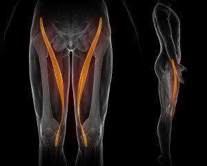 Longest muscle in the body